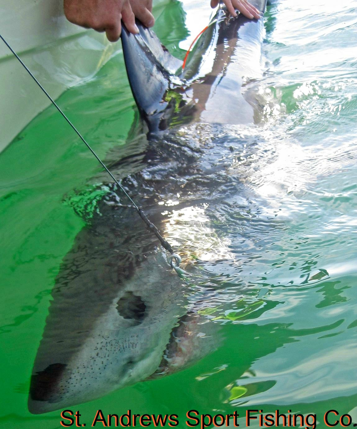Catch, Tag and release shark in the Bay of Fundy with St. Andrews Sport Fishing